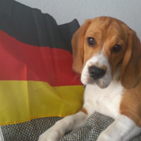 Beagler mit Deutschlandfahne